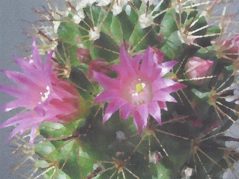Mammilaria Blüten.jpg
