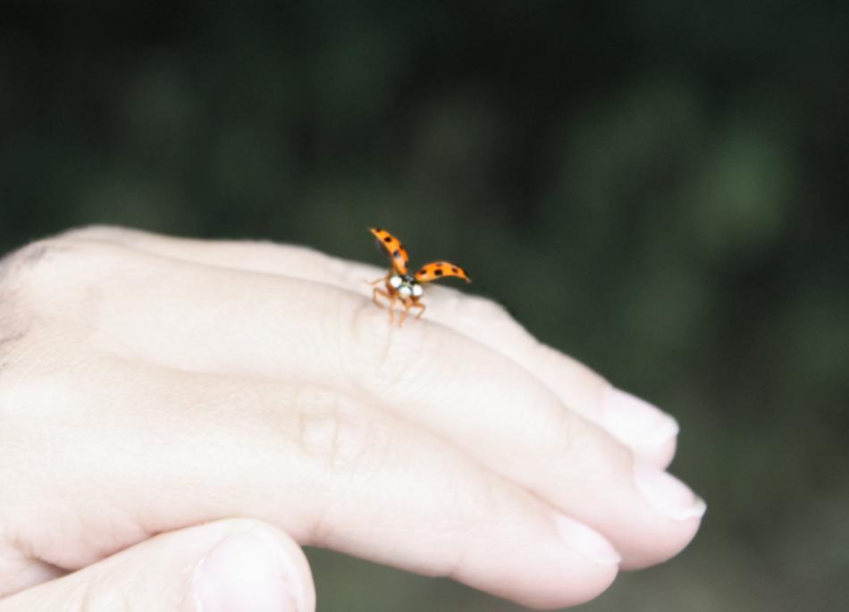 Marienkäfer fliegt