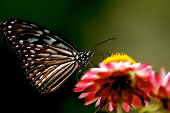 Vlinder (Schmetterling)