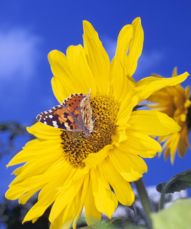 Distelfalter auf Sonnenblume