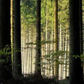 Das erste Licht des Waldes