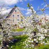 Kirschblüte im  Alten Land
