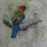 Rosella - Papagei