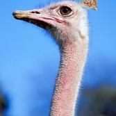 Vogel Strauß mit Hut