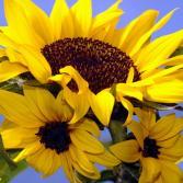 Sonnenblumen-Familie