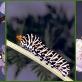 Zwei Leben eines Schmetterlings