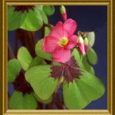 Blühender Glücksklee