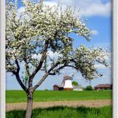 Blühender Apfelbaum und Windmühle.jpg