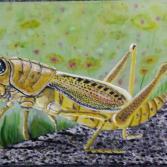 Heuschrecke Afrika Natur