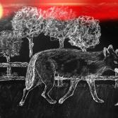 Streunender Wolf in Bunde
