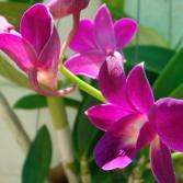 Aufgesprungene Orchidee