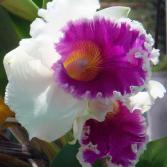 Orchidee in Hochzeit-Laune