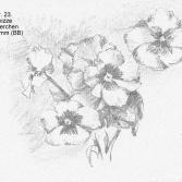 1993 Apr. 23. Bleistiftskizze Stiefmütterchen 185x135mm (BB)
