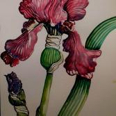 Irisblüte, Iris