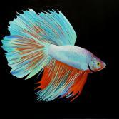 Kampffisch (Kundenbestellung)