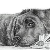 Labrador beim entspannen